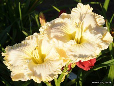 daylily 'Fancy Lace' (2)