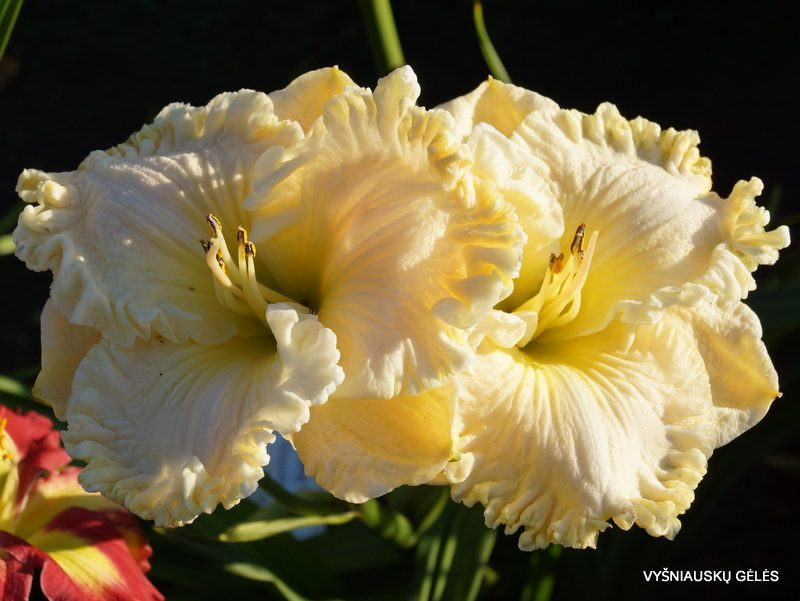 daylily 'Fancy Lace' (3)