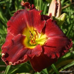 daylily 'Glory in Red'