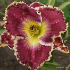 daylily 'Gnashing of Teeth'