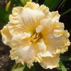 daylily 'Heaven's Majesty'