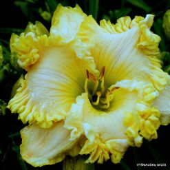 daylily 'Heaving Bodice'