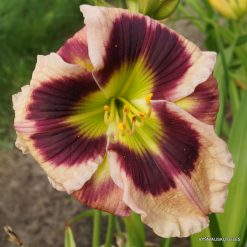 daylily 'High Definition'