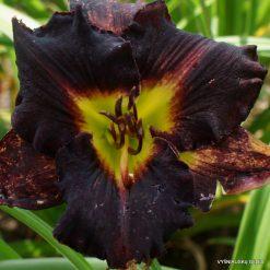 daylily 'Indigo Velvet'