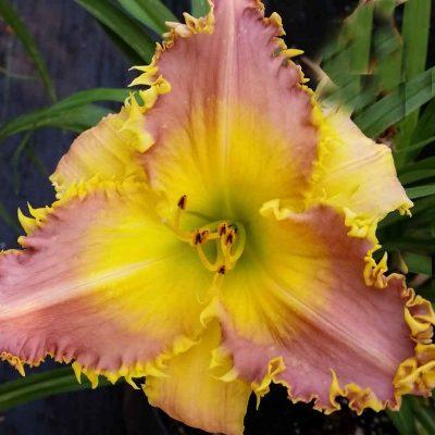 daylily 'Lavender Flytrap'