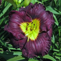 daylily 'Paint it Black' (2)