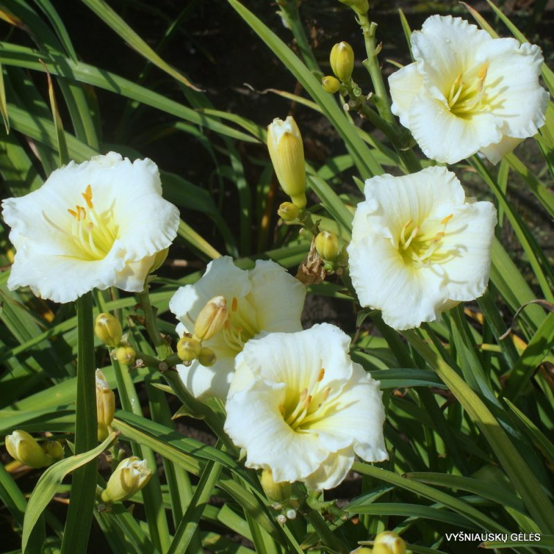 daylily 'Polar Picture' (3)