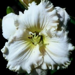 daylily 'Princess Bride'
