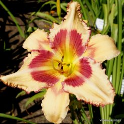 daylily 'Raspberry Griffin'