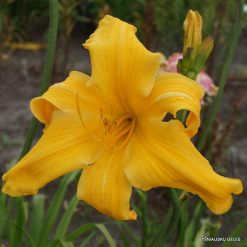 daylily 'Reach For The Heavens'