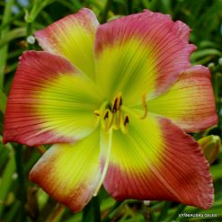 daylily 'Search for Green Pastures'