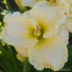 daylily 'Small World Winter Wonderland'