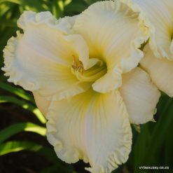 daylily 'Small World Winter Wonderland' (2)