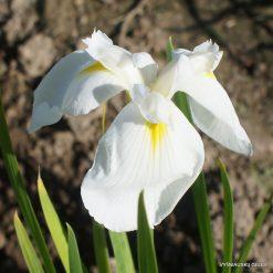 iris 'Diamant'