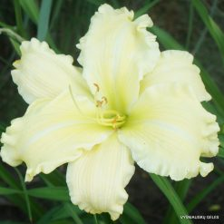 Daylily 'Titan Of Ice' (3)