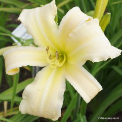 Daylily 'White Chocolate'