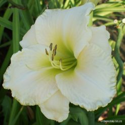 Daylily 'White Perfection'