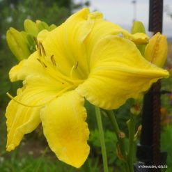 daylily 'Strung Out'