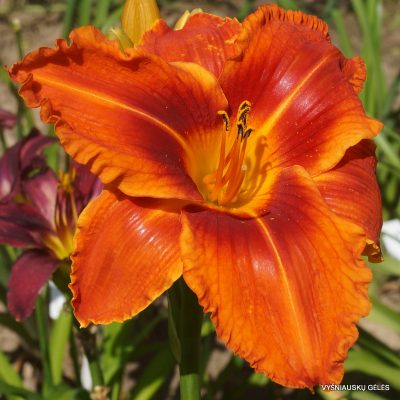 daylily 'Stop the Car'