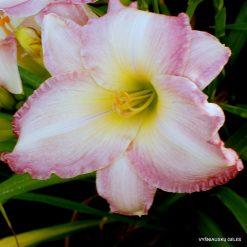 daylily 'Susan Weber'