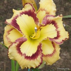daylily 'Violet Stained Glass'