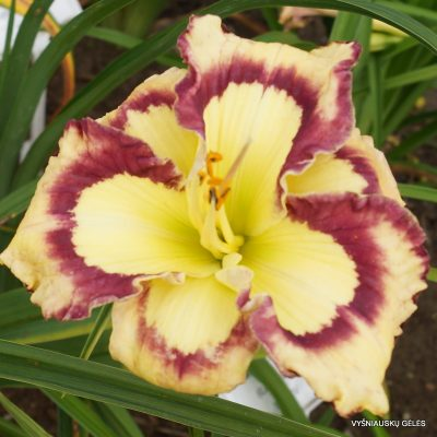 daylily 'Violet Stained Glass' (2)