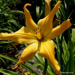 daylily 'Webster's Yellow Wonder'