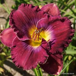daylily 'What a Relief' (2)