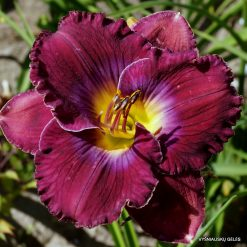 daylily 'What a Relief'