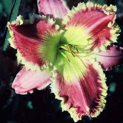 daylily 'Wild Thornberry'
