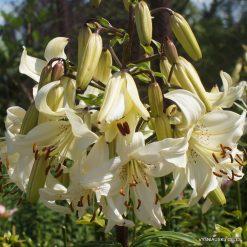 lily 'Angelų Varpai'