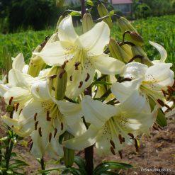 lily 'Angelų Varpai' (3)
