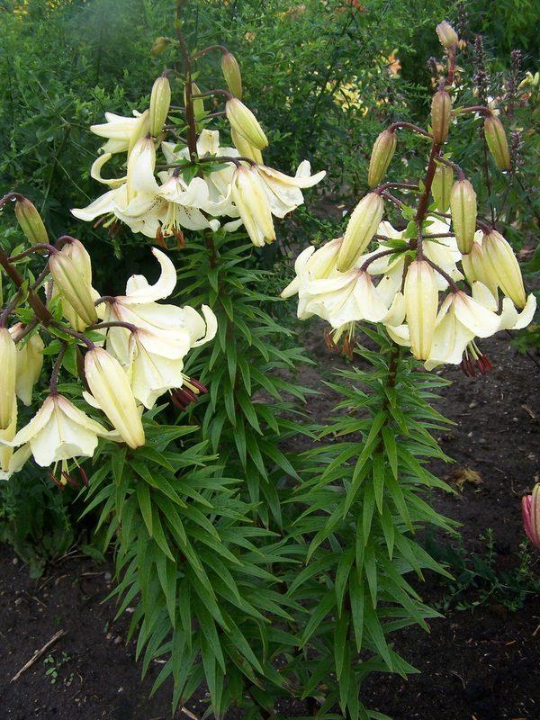 lily 'Angelų Varpai' (4)