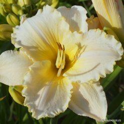 Hemerocallis 'Asheville Summer Breeze'