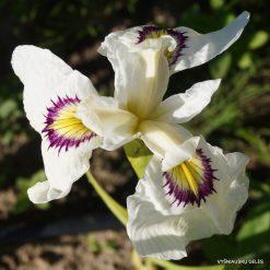Iris 'Yukiyanagi' (3)