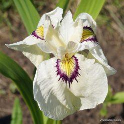 Iris 'Yukiyanagi' (4)