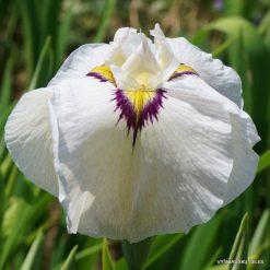 Iris 'Yukiyanagi'