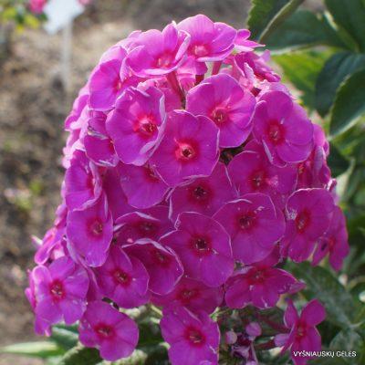 Phlox 'Adessa Rose Eye' (2)