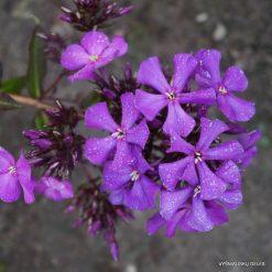 Phlox 'Balagur' (4)