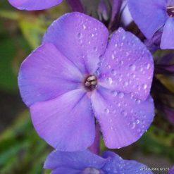 Phlox 'Boguslaw's Blaue' (3)