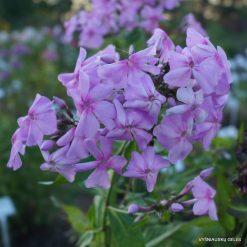 Phlox 'Bosvigo Pink' (2)