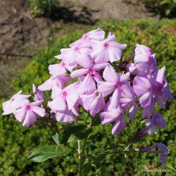 Phlox 'Bosvigo Pink' (3)