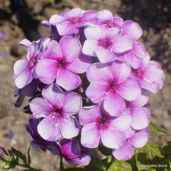 Phlox 'Khuligan'