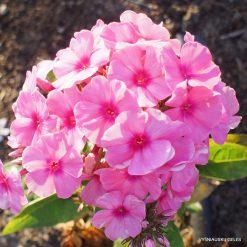 Phlox 'Light Pink Flame'
