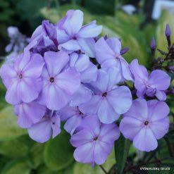 Phlox 'Lilac Time'