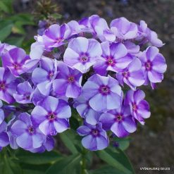 Phlox 'Mark Shagal'