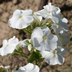 Phlox 'Sweet Summer Snow'