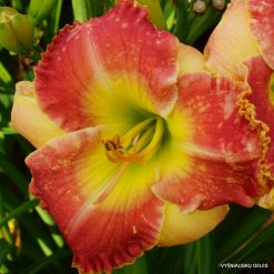 Daylily 'Clown Parade'