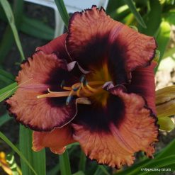Daylily 'Halloween Masquerade'