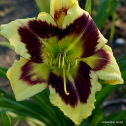 Daylily 'Heavenly Dark Matter' (4)